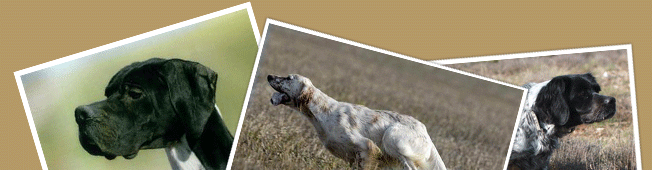 Chiot pointer - Chiot Pointer Anglais - Chiots pointer - Chiots Pointer Anglais à vendre